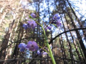 Purple flower in forest: Fiesta Flower (Pholistoma auritum)