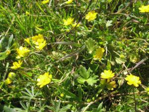 buttercup (Ranunculus californicus)