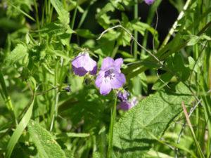 Fiesta Flower (Pholistoma auritum)