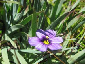 California blue-eyed grass (Sisyrinchium )
