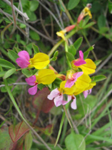 Chaparral Pea (Pickerengia montana)