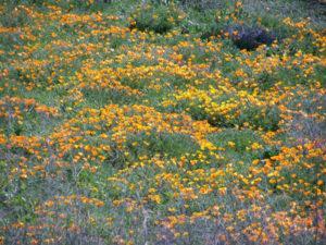 California poppies (Eschscholzia californica)