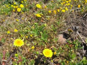 Gold fields or sunshine (Lasthenia chrysotoma)