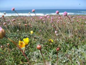 Sea Thrift or Sea pink ( Armeria maritima var. californica)