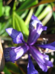 Wild Iris or Blue Flag (Iris douglasiana)
