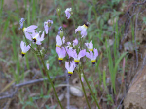 Shooting Star (Dodecatheon clevelandii)